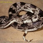 Black and white snake from NC.